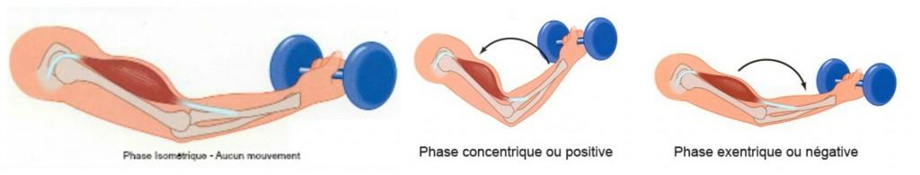 Les diffrents types de contractions : concentrique, excentrique